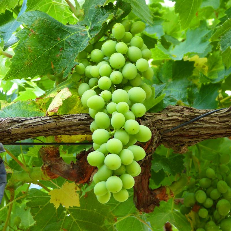 grappe-raisin-vert-verjus-les-causeries-culinaires-recette-medievale-ancien-regime-fait-maison-boutique-saveur-histoire